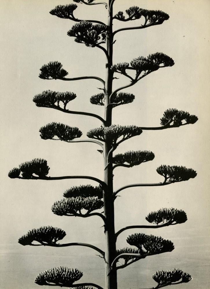 Lot #658: BRETT WESTON - Century Plant - Original vintage photogravure