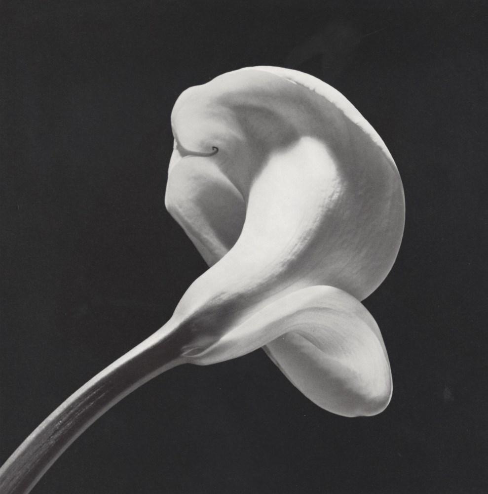 Lot #664: ROBERT MAPPLETHORPE - Calla Lily, 1984 (#1) - Original vintage photogravure