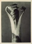 Lot #1486: KARL BLOSSFELDT - Aconitum (Common Monkshood) - Original vintage photogravure