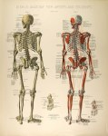 Lot #2098: CONRAD DIEHL - Diehl's Anatomy for Artists and Students - Plate 3 - Original vintage chromolithograph