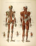 Lot #2097: CONRAD DIEHL - Diehl's Anatomy for Artists and Students - Plate 4 - Original vintage chromolithograph