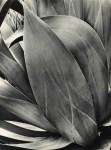 Lot #140: BRETT WESTON - Succulent (Agave) - Original vintage photogravure