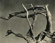 Lot #2106: EDWARD WESTON - Cypress, Point Lobos, California - Original vintage photogravure