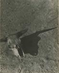 Lot #1654: ARTHUR ROTHSTEIN - Skull of Steer, Badlands, South Dakota - Original vintage photoengraving