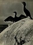 Lot #589: ELIOT PORTER - Double Crested Cormorants, Colt's Head Island, Maine - Original vintage photogravure
