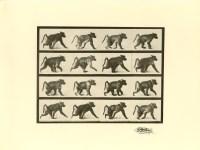 Lot #2201: EADWEARD MUYBRIDGE [d'apres] - Baboon Walking - Original photogravure