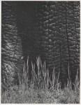 Lot #1403: ANSEL ADAMS - Burnt Stump and New Grass, Sierra Nevada, California - Original photogravure