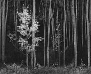 Lot #2210: ANSEL ADAMS - Aspens #2, Northern New Mexico - Original photogravure