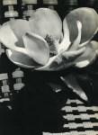 Lot #398: MAN RAY - Magnolia Blossom - Original vintage photogravure